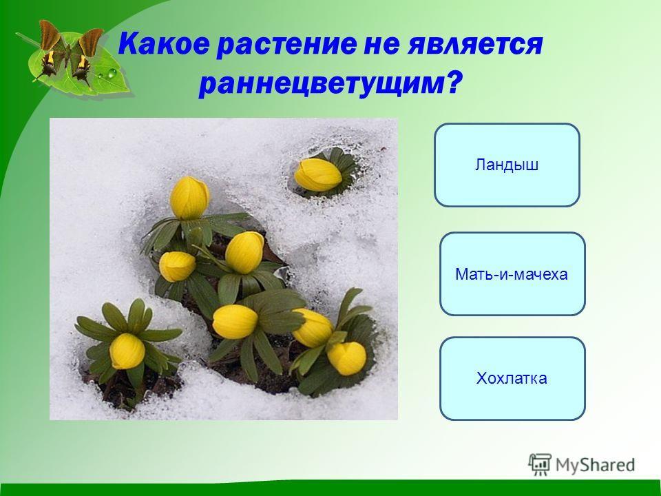 Какое растение не является раннецветущим? Ландыш Хохлатка Мать-и-мачеха