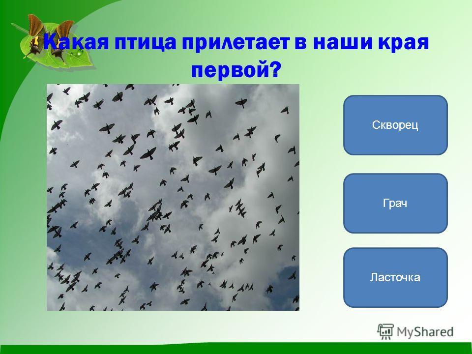 Какая птица прилетает в наши края первой? Грач Ласточка Скворец