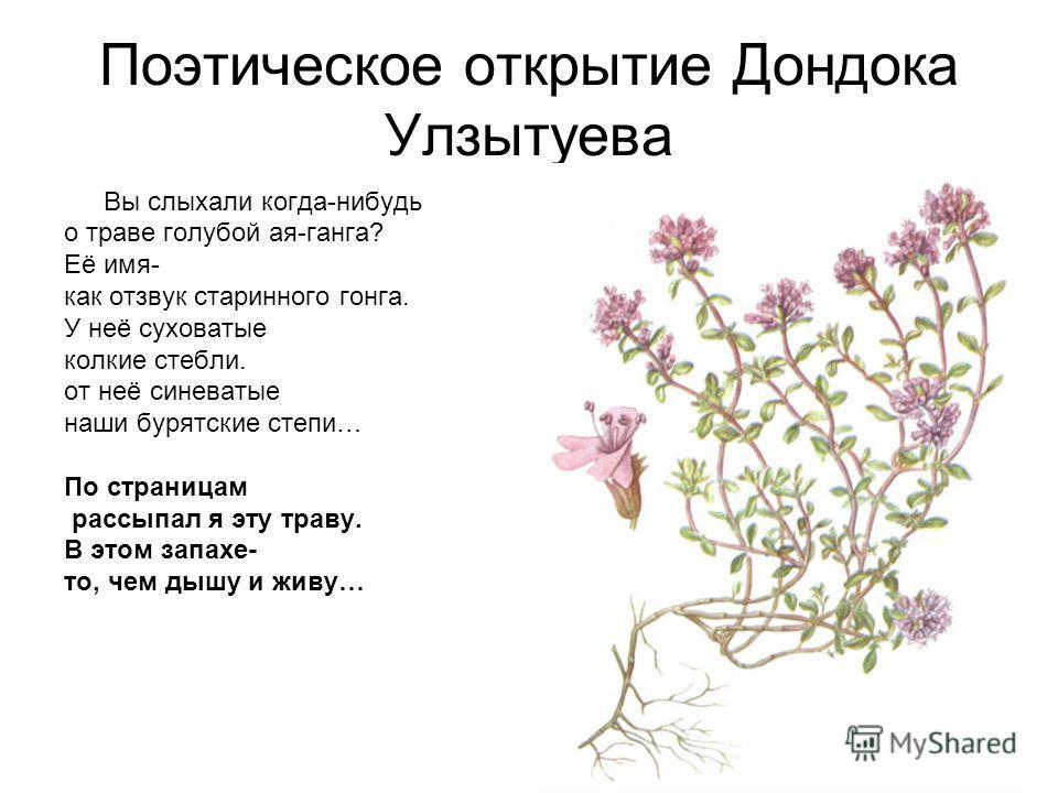 Поэтическое открытие Дондока Улзытуева Вы слыхали когда-нибудь о траве голубой ая-ганга? Её имя- как отзвук старинного гонга. У неё суховатые колкие стебли. от неё синеватые наши бурятские степи… По страницам рассыпал я эту траву. В этом запахе- то,