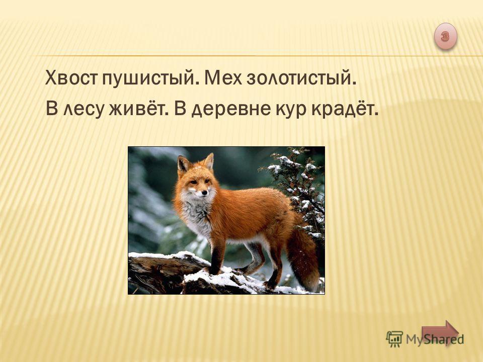 Хвост пушистый. Мех золотистый. В лесу живёт. В деревне кур крадёт.