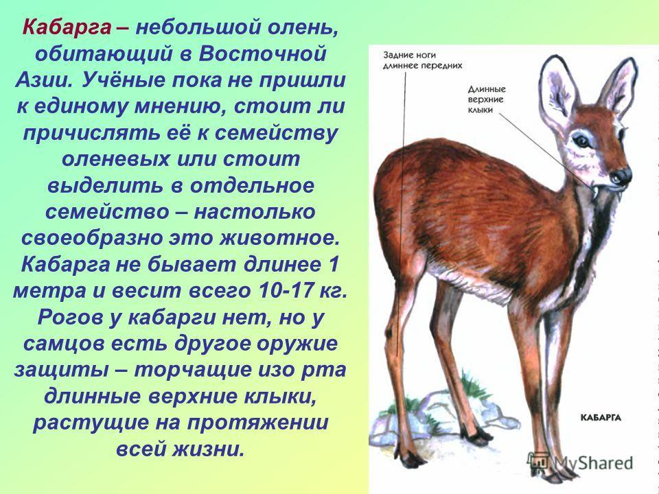 Кабарга – небольшой олень, обитающий в Восточной Азии. Учёные пока не пришли к единому мнению, стоит ли причислять её к семейству оленевых или стоит выделить в отдельное семейство – настолько своеобразно это животное. Кабарга не бывает длинее 1 метра