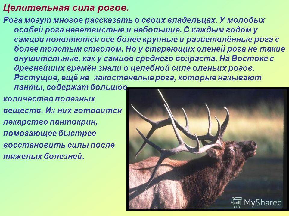 Целительная сила рогов. Рога могут многое рассказать о своих владельцах. У молодых особей рога неветвистые и небольшие. С каждым годом у самцов появляются все более крупные и разветвлённые рога с более толстым стволом. Но у стареющих оленей рога не т