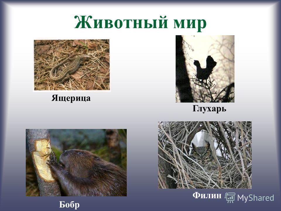 Животный мир Ящерица Глухарь Бобр Филин