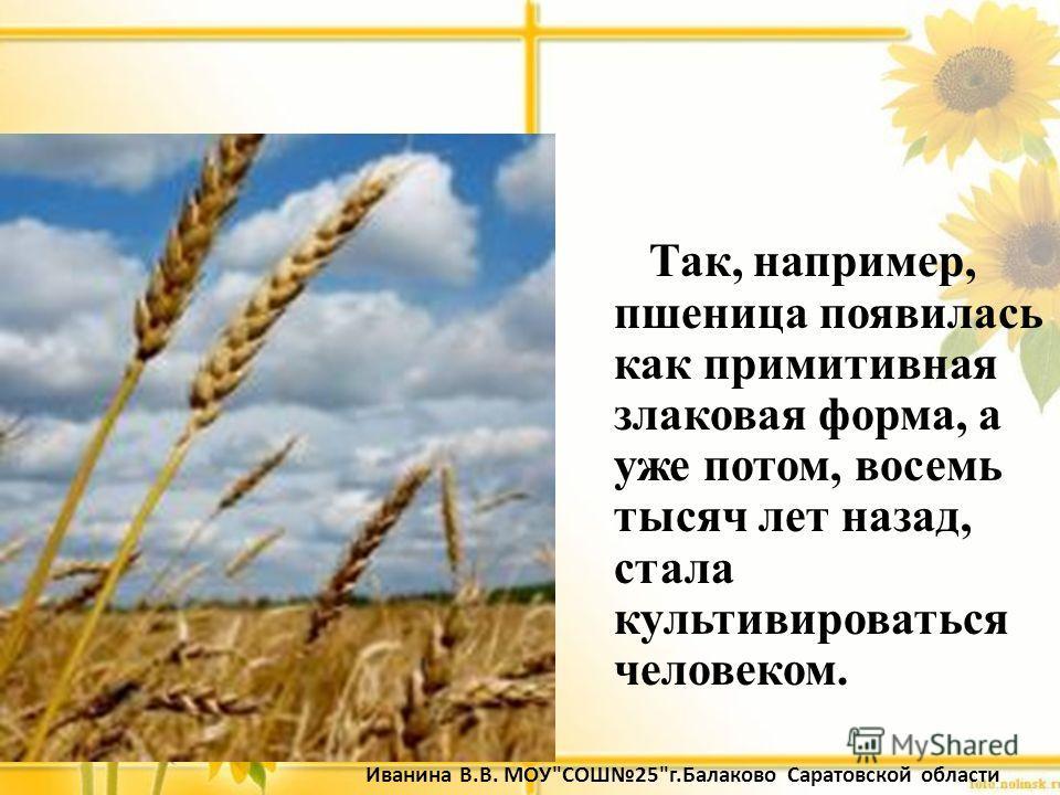 Так, например, пшеница появилась как примитивная злаковая форма, а уже потом, восемь тысяч лет назад, стала культивироваться человеком. Иванина В.В. МОУСОШ25г.Балаково Саратовской области