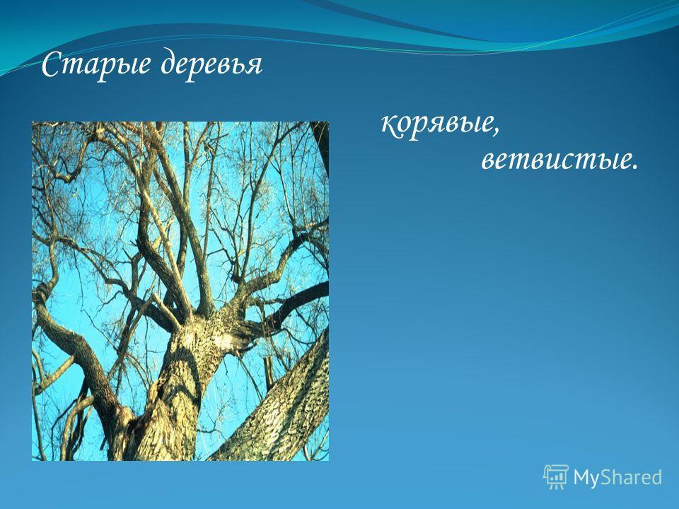 Старые деревья корявые, ветвистые.