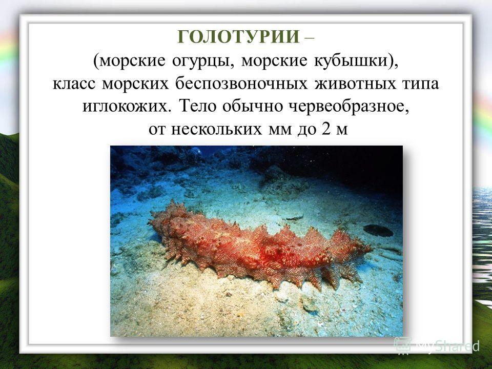 ГОЛОТУРИИ – (морские огурцы, морские кубышки), класс морских беспозвоночных животных типа иглокожих. Тело обычно червеобразное, от нескольких мм до 2 м