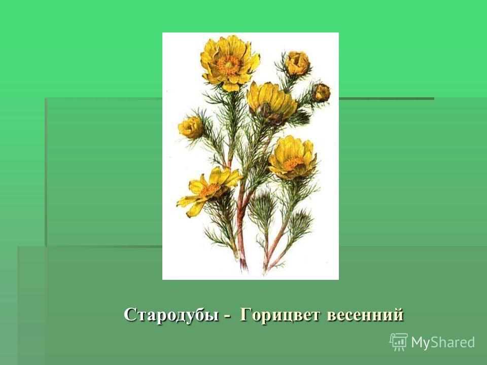 Стародубы - Горицвет весенний