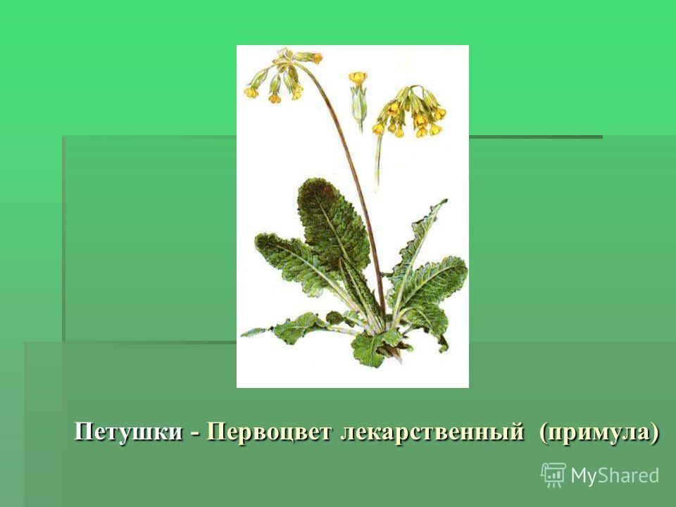Петушки - Первоцвет лекарственный (примула)