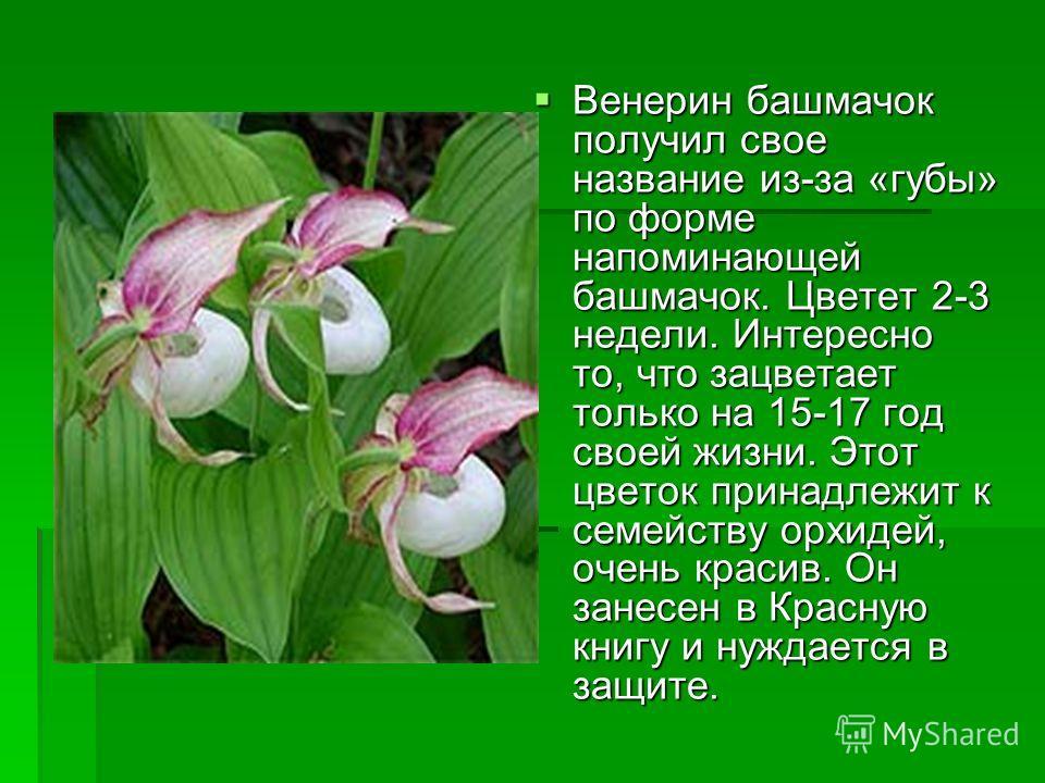 Венерин башмачок получил свое название из-за «губы» по форме напоминающей башмачок. Цветет 2-3 недели. Интересно то, что зацветает только на 15-17 год своей жизни. Этот цветок принадлежит к семейству орхидей, очень красив. Он занесен в Красную книгу