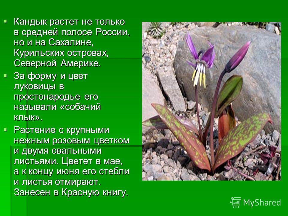 Кандык растет не только в средней полосе России, но и на Сахалине, Курильских островах, Северной Америке. Кандык растет не только в средней полосе России, но и на Сахалине, Курильских островах, Северной Америке. За форму и цвет луковицы в простонарод