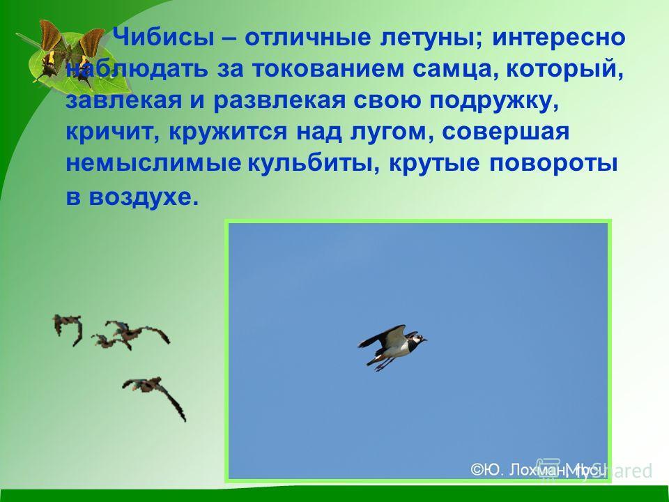 Чибисы – отличные летуны; интересно наблюдать за токованием самца, который, завлекая и развлекая свою подружку, кричит, кружится над лугом, совершая немыслимые кульбиты, крутые повороты в воздухе.