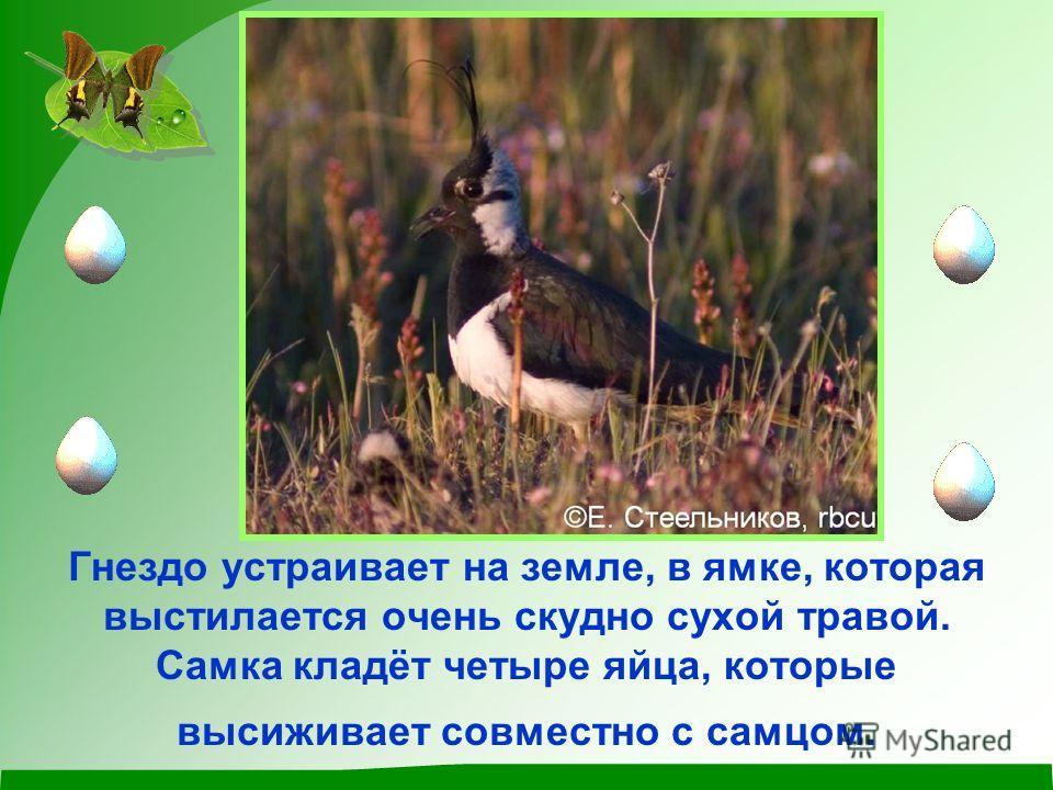Гнездо устраивает на земле, в ямке, которая выстилается очень скудно сухой травой. Самка кладёт четыре яйца, которые высиживает совместно с самцом.