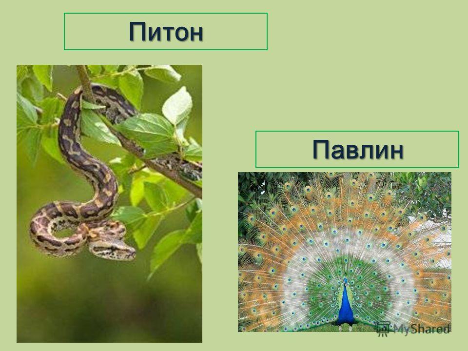 Павлин Питон