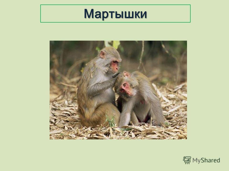 Мартышки
