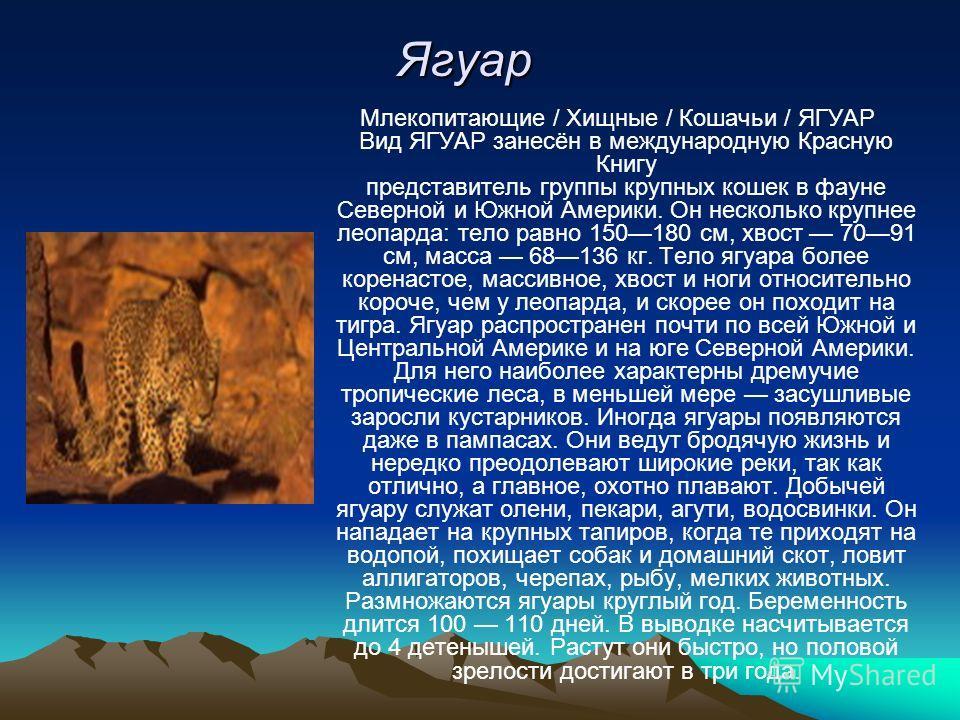 Ягуар Млекопитающие / Хищные / Кошачьи / ЯГУАР Вид ЯГУАР занесён в международную Красную Книгу представитель группы крупных кошек в фауне Северной и Южной Америки. Он несколько крупнее леопарда: тело равно 150180 см, хвост 7091 см, масса 68136 кг. Те