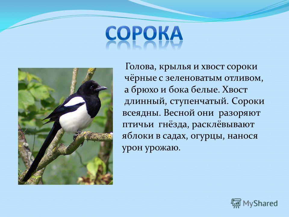 Голова, крылья и хвост сороки чёрные с зеленоватым отливом, а брюхо и бока белые. Хвост длинный, ступенчатый. Сороки всеядны. Весной они разоряют птичьи гнёзда, расклёвывают яблоки в садах, огурцы, нанося урон урожаю.
