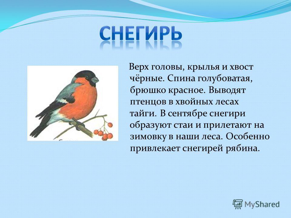 Верх головы, крылья и хвост чёрные. Спина голубоватая, брюшко красное. Выводят птенцов в хвойных лесах тайги. В сентябре снегири образуют стаи и прилетают на зимовку в наши леса. Особенно привлекает снегирей рябина.