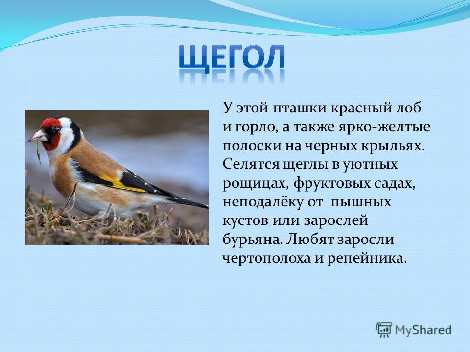 У этой пташки красный лоб и горло, а также ярко-желтые полоски на черных крыльях. Селятся щеглы в уютных рощицах, фруктовых садах, неподалёку от пышных кустов или зарослей бурьяна. Любят заросли чертополоха и репейника.