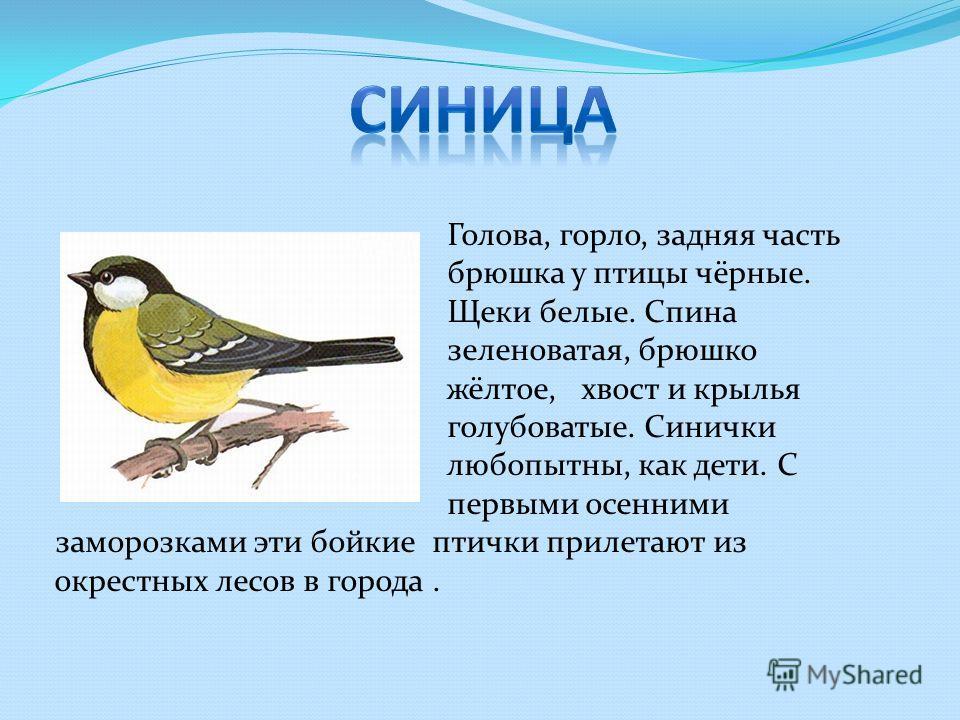 Голова, горло, задняя часть брюшка у птицы чёрные. Щеки белые. Спина зеленоватая, брюшко жёлтое, хвост и крылья голубоватые. Синички любопытны, как дети. С первыми осенними заморозками эти бойкие птички прилетают из окрестных лесов в города.