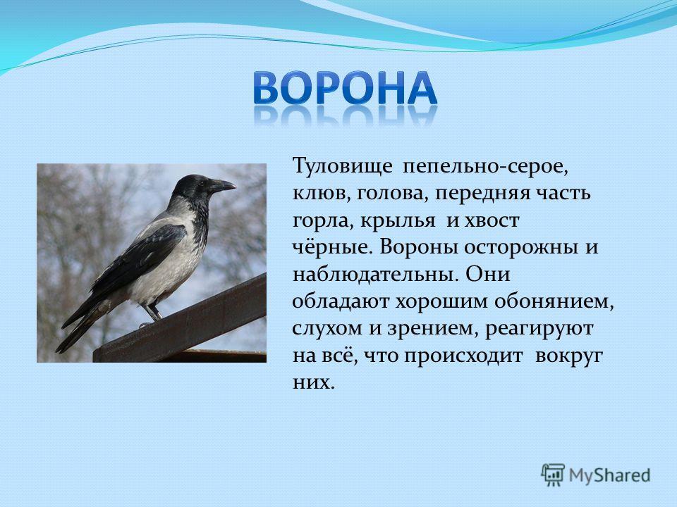 Туловище пепельно-серое, клюв, голова, передняя часть горла, крылья и хвост чёрные. Вороны осторожны и наблюдательны. Они обладают хорошим обонянием, слухом и зрением, реагируют на всё, что происходит вокруг них.