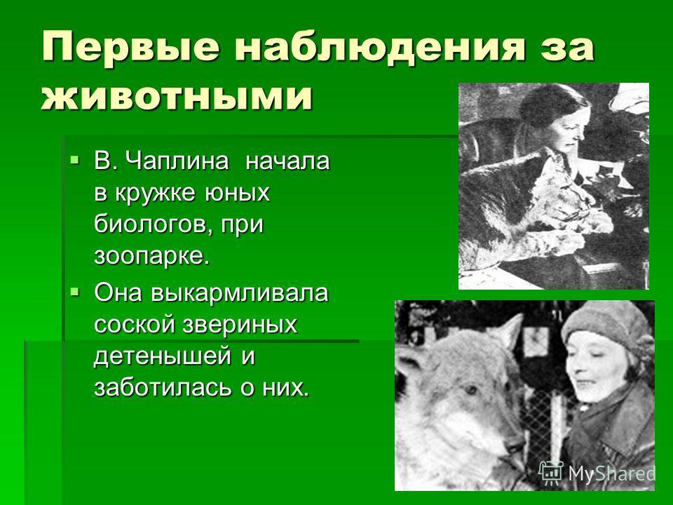 Первые наблюдения за животными В. Чаплина начала в кружке юных биологов, при зоопарке. В. Чаплина начала в кружке юных биологов, при зоопарке. Она выкармливала соской звериных детенышей и заботилась о них. Она выкармливала соской звериных детенышей и