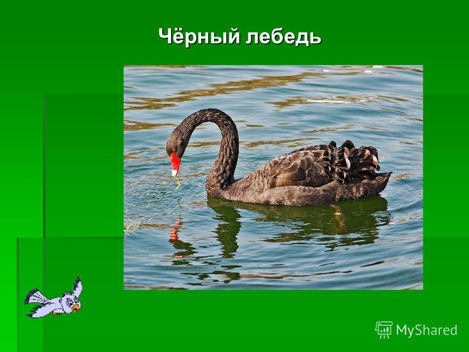 Чёрный лебедь Чёрный лебедь