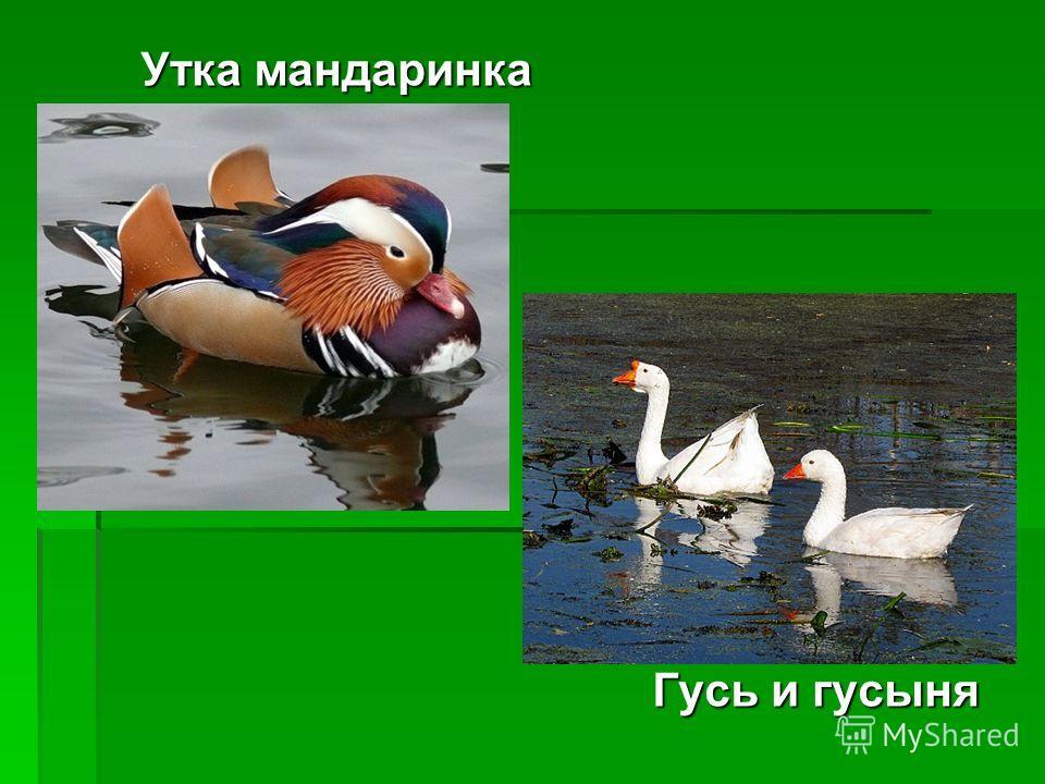 Утка мандаринка Гусь и гусыня Гусь и гусыня