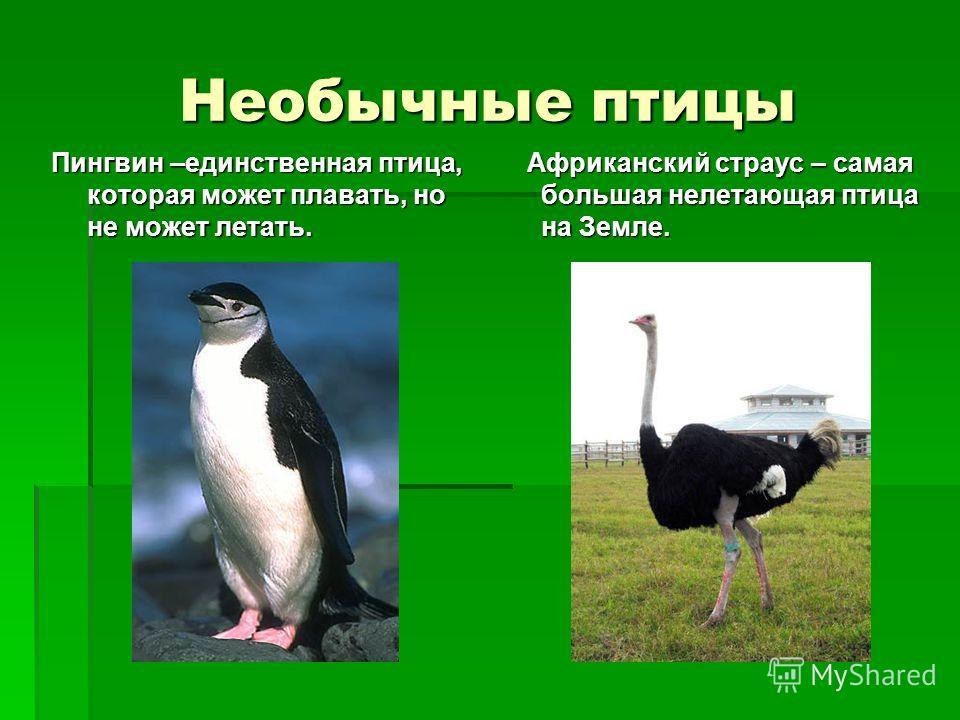 Необычные птицы Пингвин –единственная птица, которая может плавать, но не может летать. Африканский страус – самая большая нелетающая птица на Земле. Африканский страус – самая большая нелетающая птица на Земле.