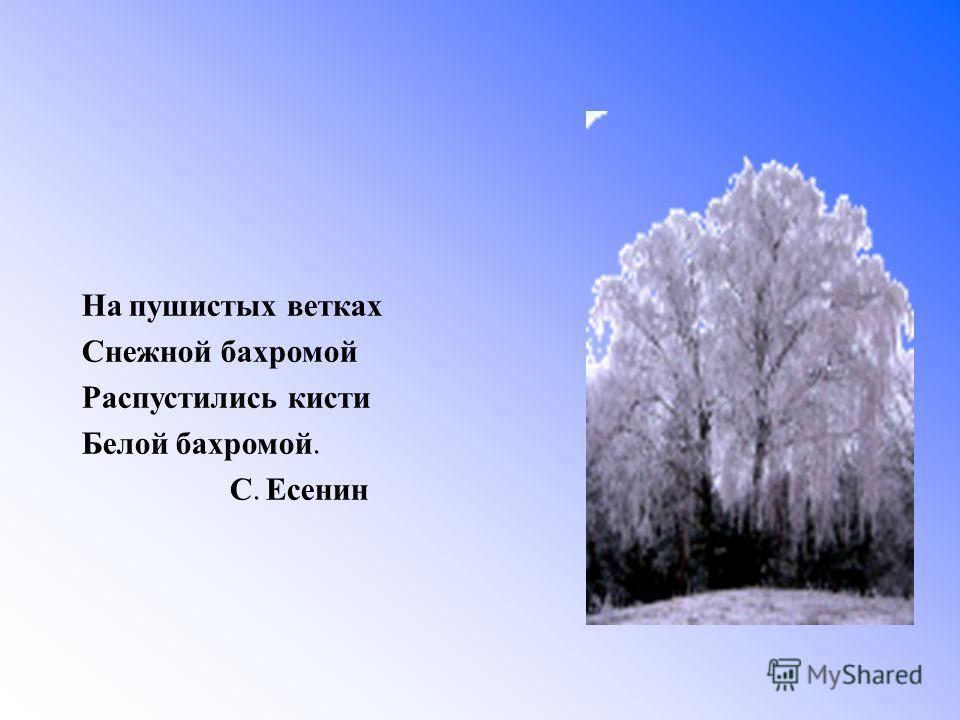 На пушистых ветках Снежной бахромой Распустились кисти Белой бахромой. С. Есенин