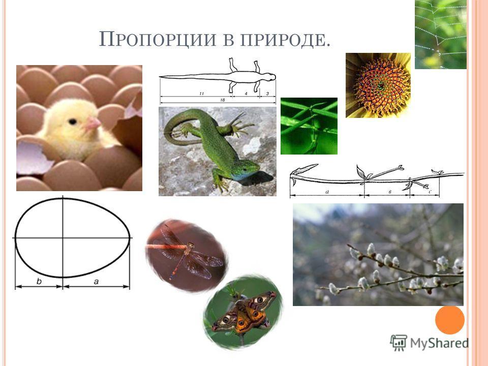 П РОПОРЦИИ В ПРИРОДЕ.