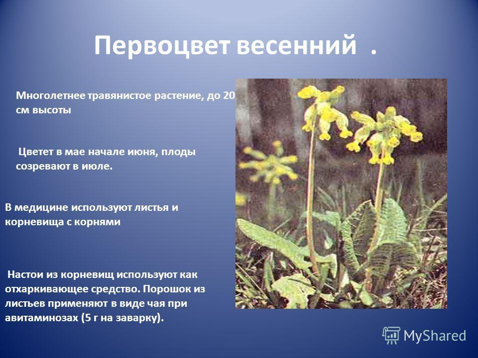 Первоцвет весенний. Многолетнее травянистое растение, до 20 см высоты Цветет в мае начале июня, плоды созревают в июле. В медицине используют листья и корневища с корнями Настои из корневищ используют как отхаркивающее средство. Порошок из листьев пр
