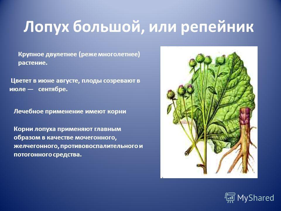 Лопух большой, или репейник Крупное двулетнее (реже многолетнее) растение. Цветет в июне августе, плоды созревают в июле сентябре. Лечебное применение имеют корни Корни лопуха применяют главным образом в качестве мочегонного, желчегонного, противовос