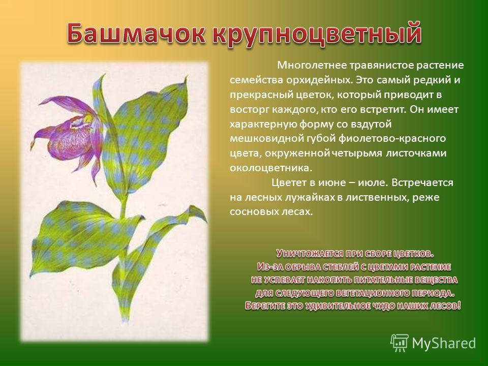 Многолетнее травянистое растение семейства орхидейных. Это самый редкий и прекрасный цветок, который приводит в восторг каждого, кто его встретит. Он имеет характерную форму со вздутой мешковидной губой фиолетово-красного цвета, окруженной четырьмя л