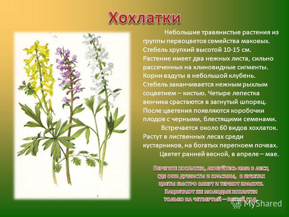 Небольшие травянистые растения из группы первоцветов семейства маковых. Стебель хрупкий высотой 10-15 см. Растение имеет два нежных листа, сильно рассеченных на клиновидные сигменты. Корни вздуты в небольшой клубень. Стебель заканчивается нежным рыхл