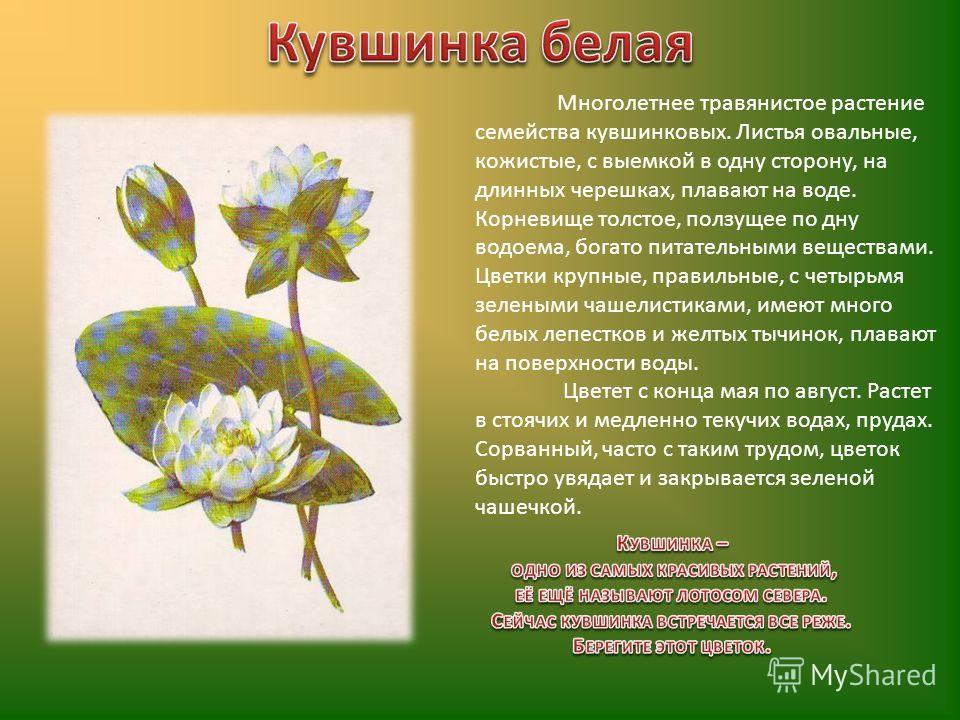 Многолетнее травянистое растение семейства кувшинковых. Листья овальные, кожистые, с выемкой в одну сторону, на длинных черешках, плавают на воде. Корневище толстое, ползущее по дну водоема, богато питательными веществами. Цветки крупные, правильные,