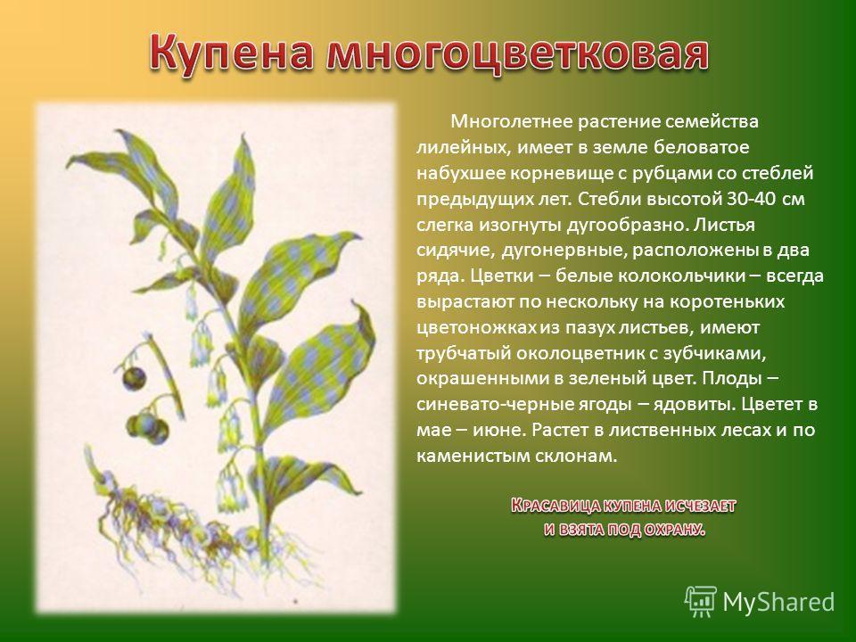 Многолетнее растение семейства лилейных, имеет в земле беловатое набухшее корневище с рубцами со стеблей предыдущих лет. Стебли высотой 30-40 см слегка изогнуты дугообразно. Листья сидячие, дугонервные, расположены в два ряда. Цветки – белые колоколь