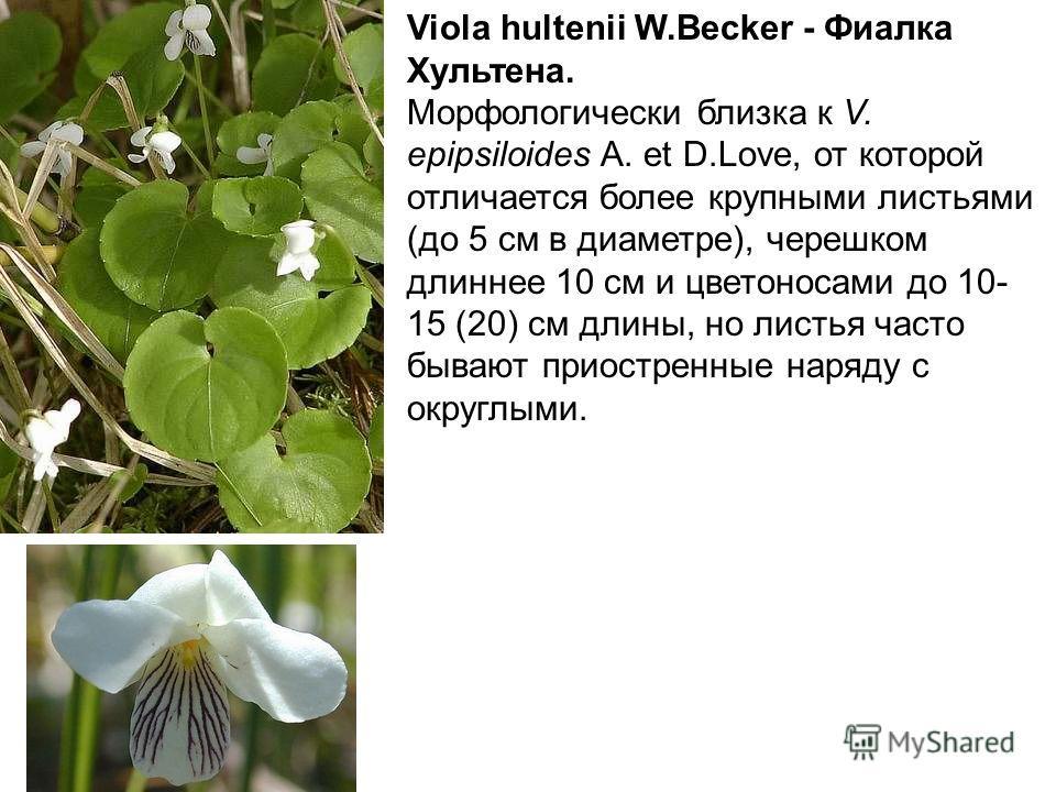 Viola hultenii W.Becker - Фиалка Хультена. Морфологически близка к V. epipsiloides A. et D.Love, от которой отличается более крупными листьями (до 5 см в диаметре), черешком длиннее 10 см и цветоносами до 10- 15 (20) см длины, но листья часто бывают