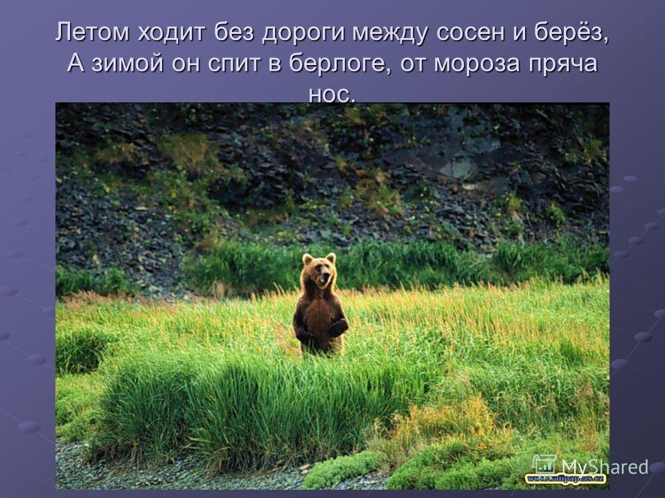 Летом ходит без дороги между сосен и берёз, А зимой он спит в берлоге, от мороза пряча нос.