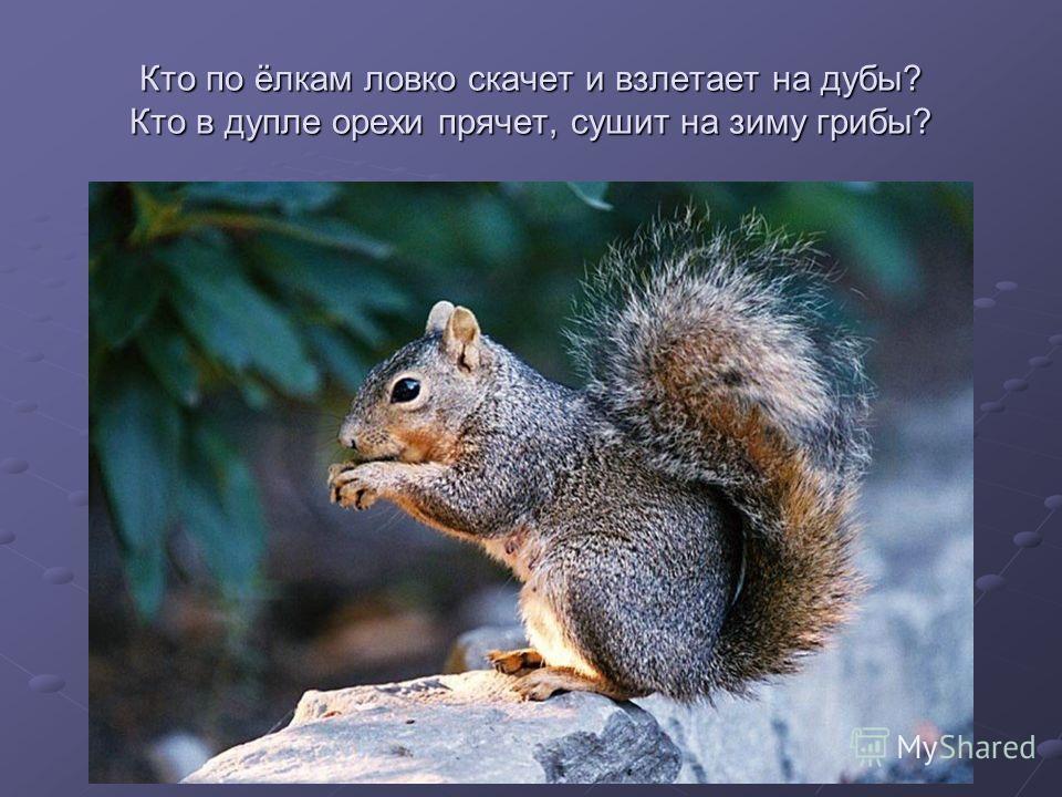 Кто по ёлкам ловко скачет и взлетает на дубы? Кто в дупле орехи прячет, сушит на зиму грибы?