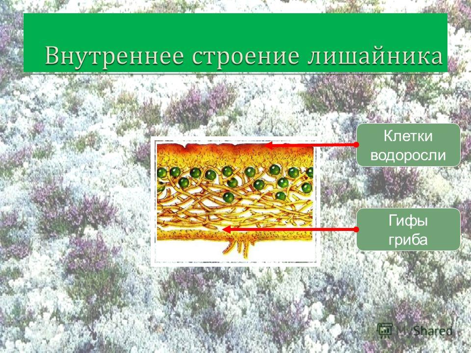 Клетки водоросли Гифы гриба