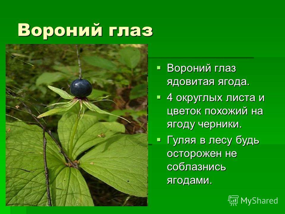 Вороний глаз Вороний глаз ядовитая ягода. Вороний глаз ядовитая ягода. 4 округлых листа и цветок похожий на ягоду черники. 4 округлых листа и цветок похожий на ягоду черники. Гуляя в лесу будь осторожен не соблазнись ягодами. Гуляя в лесу будь осторо