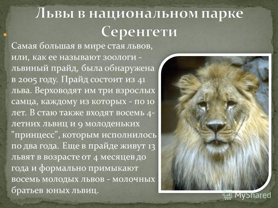 Самая большая в мире стая львов, или, как ее называют зоологи - львиный прайд, была обнаружена в 2005 году. Прайд состоит из 41 льва. Верховодят им три взрослых самца, каждому из которых - по 10 лет. В стаю также входят восемь 4- летних львиц и 9 мол
