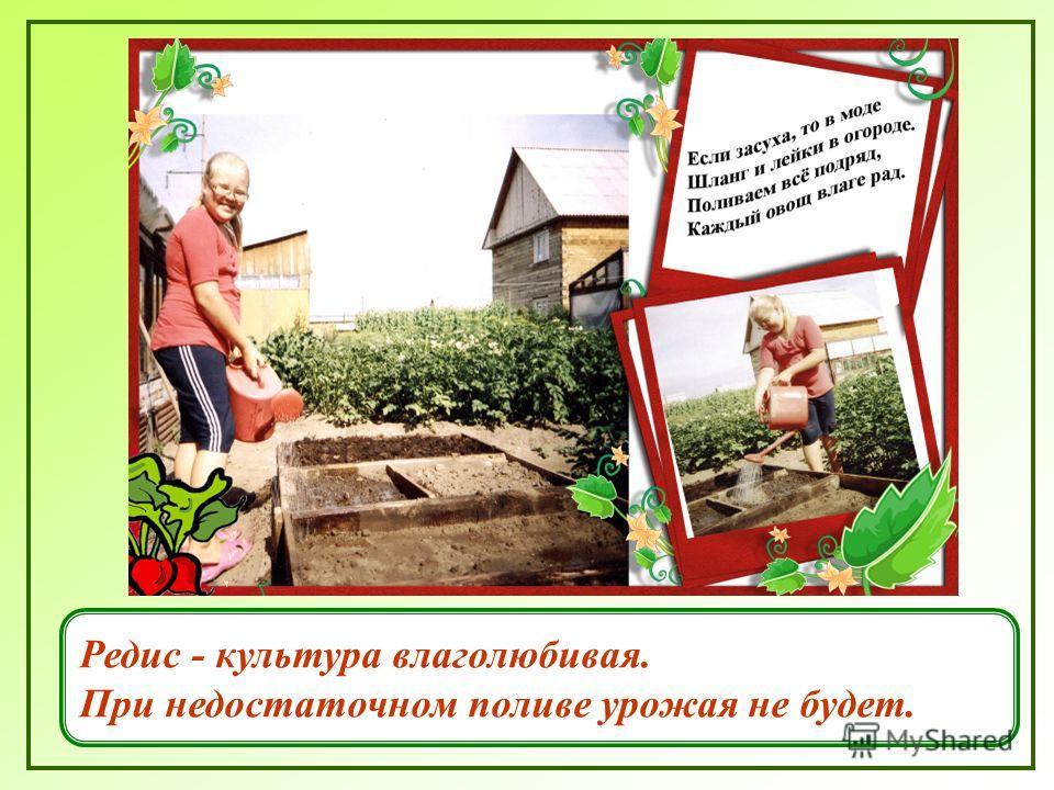 Редис - культура влаголюбивая. При недостаточном поливе урожая не будет.