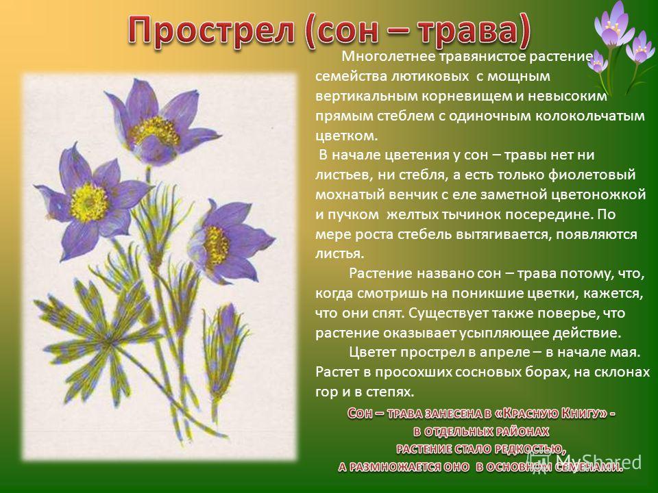 Многолетнее травянистое растение семейства лютиковых с мощным вертикальным корневищем и невысоким прямым стеблем с одиночным колокольчатым цветком. В начале цветения у сон – травы нет ни листьев, ни стебля, а есть только фиолетовый мохнатый венчик с