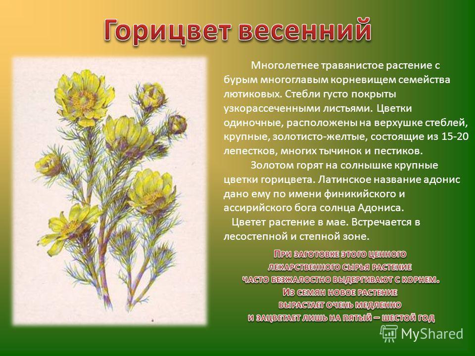 Многолетнее травянистое растение с бурым многоглавым корневищем семейства лютиковых. Стебли густо покрыты узкорассеченными листьями. Цветки одиночные, расположены на верхушке стеблей, крупные, золотисто-желтые, состоящие из 15-20 лепестков, многих ты