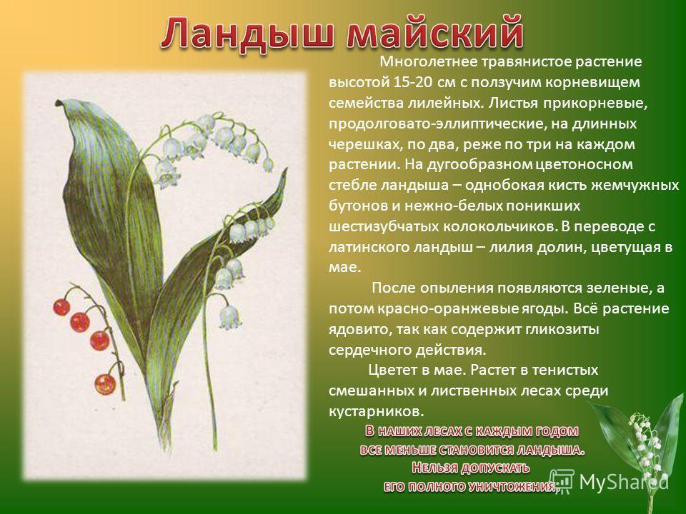 Многолетнее травянистое растение высотой 15-20 см с ползучим корневищем семейства лилейных. Листья прикорневые, продолговато-эллиптические, на длинных черешках, по два, реже по три на каждом растении. На дугообразном цветоносном стебле ландыша – одно