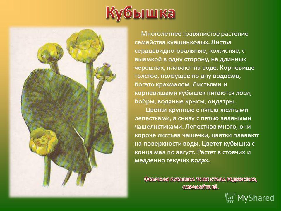 Многолетнее травянистое растение семейства кувшинковых. Листья сердцевидно-овальные, кожистые, с выемкой в одну сторону, на длинных черешках, плавают на воде. Корневище толстое, ползущее по дну водоёма, богато крахмалом. Листьями и корневищами кубыше