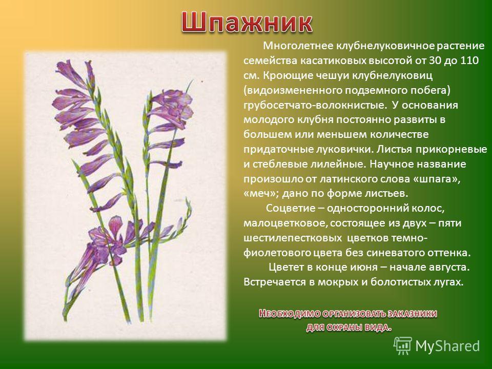 Многолетнее клубнелуковичное растение семейства касатиковых высотой от 30 до 110 см. Кроющие чешуи клубнелуковиц (видоизмененного подземного побега) грубосетчато-волокнистые. У основания молодого клубня постоянно развиты в большем или меньшем количес