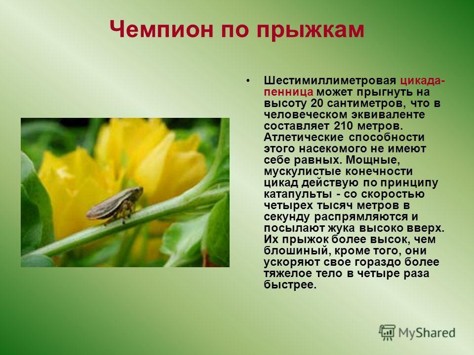 Чемпион по прыжкам Шестимиллиметровая цикада- пенница может прыгнуть на высоту 20 сантиметров, что в человеческом эквиваленте составляет 210 метров. Атлетические способности этого насекомого не имеют себе равных. Мощные, мускулистые конечности цикад