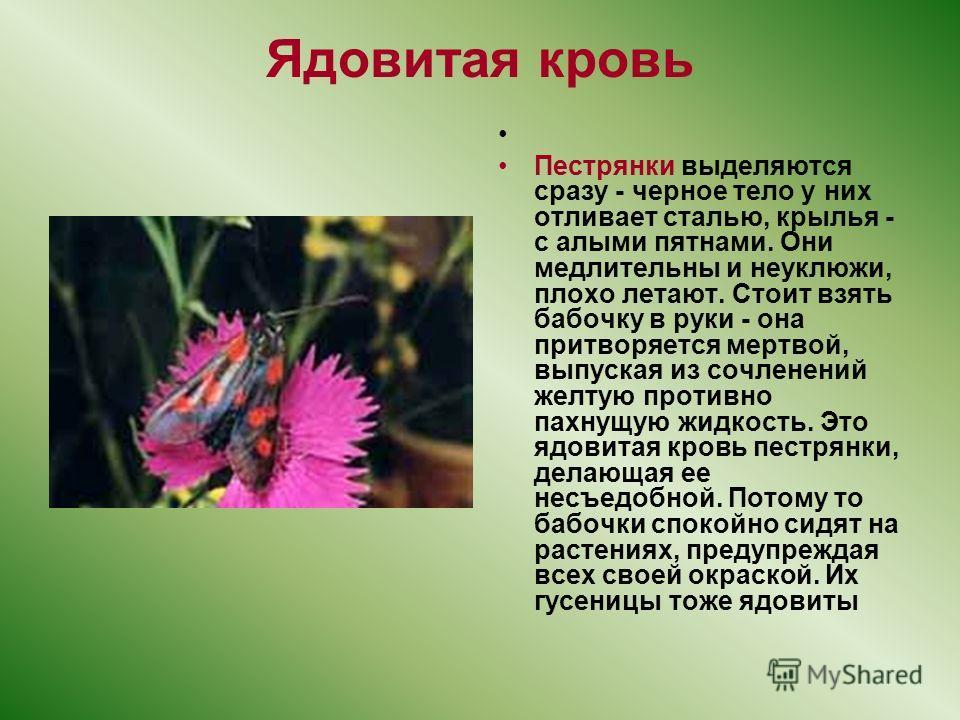 Ядовитая кровь Пeстрянки выделяются сразу - черное тело у них отливает сталью, крылья - с алыми пятнами. Они медлительны и неуклюжи, плохо летают. Стоит взять бабочку в руки - она притворяется мертвой, выпуская из сочленений желтую противно пахнущую